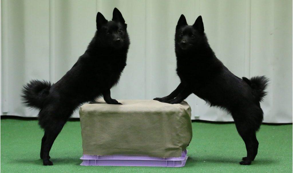 Kaksi schipperkeä etutassut laatikon päällä