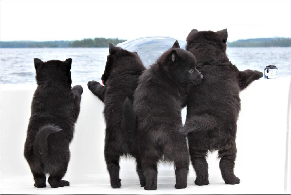 neljä schopperke pentua katselee veneen laidalla merelle