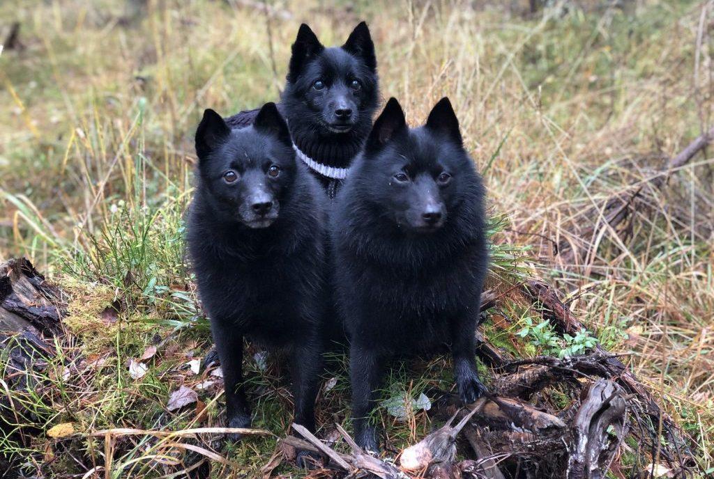 Kolme schipperkeä syksyisessä metsässä