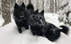 kaksi schipperkeä lumisessa metsässä